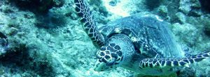 tortue-faune-guadeloupe
