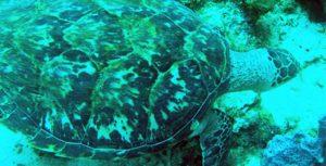 turtle-saintes-guadeloupe